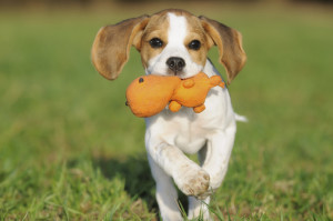 איך להקל על כלב משתעל באופן מיידי?